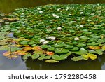 Summer Garden   Water Lillies...