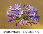 Agapanthus  Lily Of The Nile Or ...