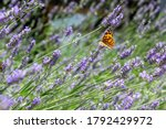 Selective Focus On Lavender...
