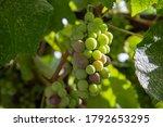 Winemaking Concept. Grape...
