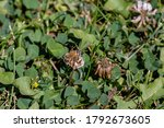 Honey Bee Forager Pollinating A ...