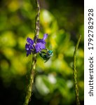 Green Orchid Bee  Euglossa...