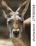 Red Kangaroo Closeup
