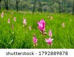 Blooming Siam Tulip Flower In...