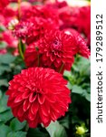 close up beautiful red dahlia... | Shutterstock . vector #179289512