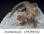 Small photo of Ocellated Uromastyx / Uromastyx occelata