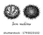 Sea Urchins. Ink Sketch Of...