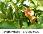 growing peach with green leaves ... | Shutterstock . vector #1793025022