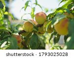 growing peach with green leaves ... | Shutterstock . vector #1793025028