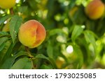 growing peach with green leaves ... | Shutterstock . vector #1793025085