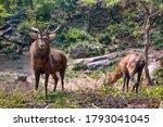 Two Brow Antler Deers   Eld's...
