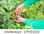 Tomatoes Harvest On Farmers...