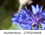 triteleia is a genus of...