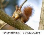 Curious Red Squirrel  Sciurus...
