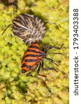 Small photo of Striped bug or Minstrel bug, Graphosoma lineatum. a species of shield bug in the family Pentatomidae Stinky bug on the leaf.
