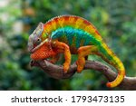 Beautiful Of Chameleon Panther  ...