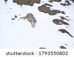 Snow Leopard Walking In The...
