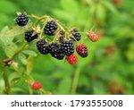 Ripening Prickly Blackberries...