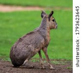 Patagonian Mara, Dolichotis patagonum. These large relatives of guinea pigs are common in the Patagonian steppes of Argentina but live in other areas of South America as well such as Paraguay.