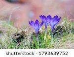 Blue Crocuses Growing In Garden....