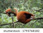Red Panda Breeding Pair  Yasmin ...