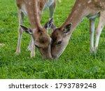 Fallow Deer Eating Grass In...