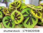 Begonia Masoniana  Also Known...
