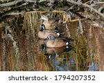 A small group of Blue-winged teals, consisting of two males and one female, rest in the shallow waters of a wooded pond.
