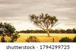 An Image Of A Eucalyptus Tree...