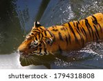 The Tiger Swims In The Water.