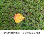One Yellow Leaf Lies Against A...