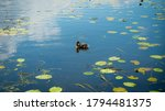 A Duck Relaxes In A Pond On A...