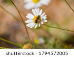 Chamomile Or Daisy Flower With ...
