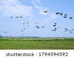 A Flock Of Wild Ducks Across...