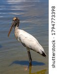 A Wood Stork Standing In The...
