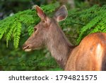 Smaller and without horns, the horns are not hollow, spiral, and some can branch like a tree branch. No gallbladder It prefers to be alone alone, except for mating season. - stock photo