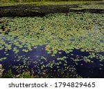 Water Lilies Blooming On The...