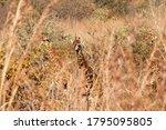 Giraffe Visible Through Some...