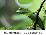Green Lizard On Branch  Green...