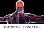 Human Nervous System Anatomy.3d ...