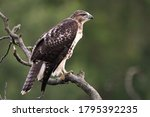 A Young Hawk On A Dead Tree...