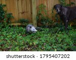 A Labrador Is Not Sure About A...