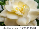 Pretty Gardenia Flower   Macro...
