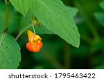 Spotted Jewelweed Blooming On ...