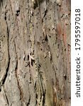 Hinoki Cypress Bark Detail  ...