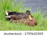 Mallard Duck Sitting On A Gree...
