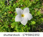 a pretty small plumeria nicely... | Shutterstock . vector #1795842352