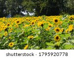 Sunflowers in a field in...