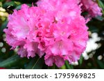 Blooming Pink Rhododendron Bush ...
