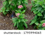 Variegated Fritillary Butterfly ...